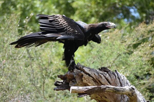 Самые крупные орлы в мире с фото и описанием - Клинохвостый орёл