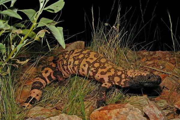 Самые большие ящерицы в мире с фото и описанием - Аризонский ядозуб (жилатье)