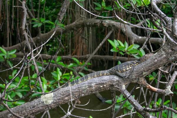 Самые большие ящерицы в мире с фото и описанием - Белогорлый варан