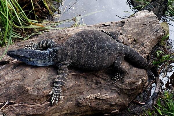 Самые большие ящерицы в мире с фото и описанием - Гигантский или большой варан (перенти)