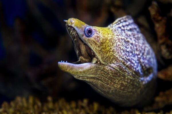 Самые опасные животные морских глубин - Мурены