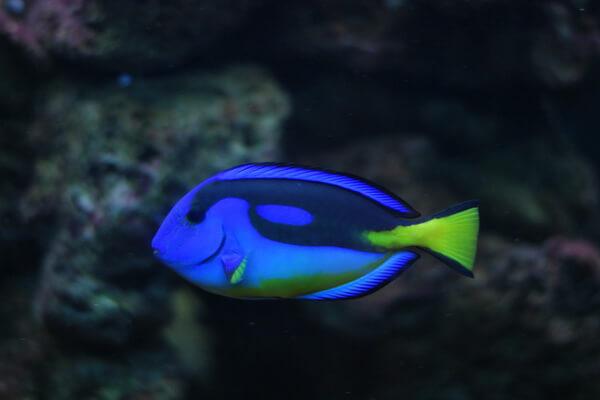 Самые опасные морские животные с фото и описанием - Голубой или флаговый хирург