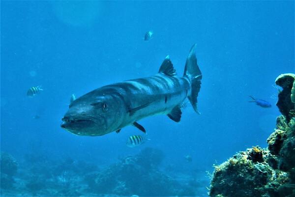 Самые опасные морские животные с фото и описанием - Барракуда