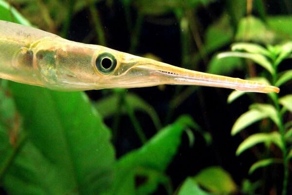 Самые опасные морские животные с фото и описанием - Рыба-игла