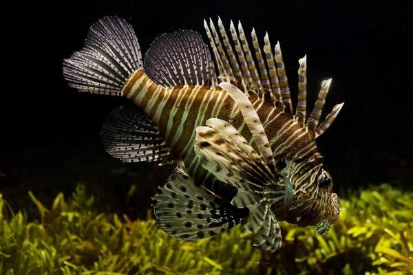 Самые опасные морские животные с фото и описанием - Рыба-скорпион