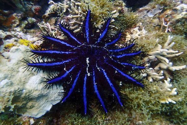Самые опасные морские животные с фото и описанием - Терновый венец (морская звезда)