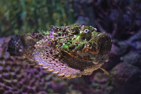 Самые опасные морские животные с фото и описанием - Бородавчатка или рыба-камень