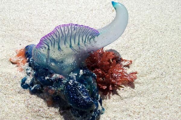 Самые опасные морские животные с фото и описанием - Португальский кораблик (физалия)