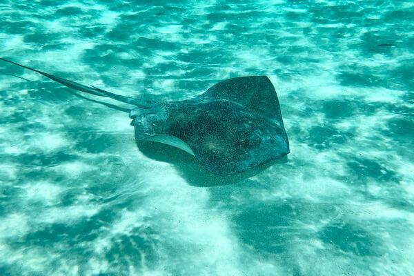 Самые опасные морские животные с фото и описанием - Скаты-орляки