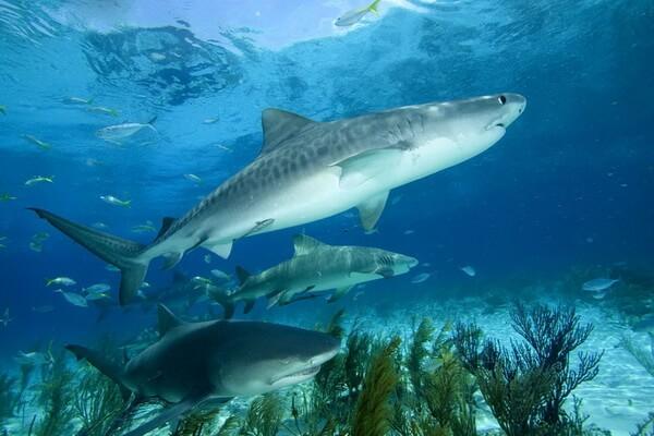 Самые опасные морские животные с фото и описанием - Тигровая или леопардовая акула