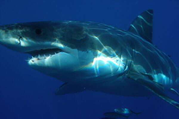Самые опасные морские животные с фото и описанием - Белая акула