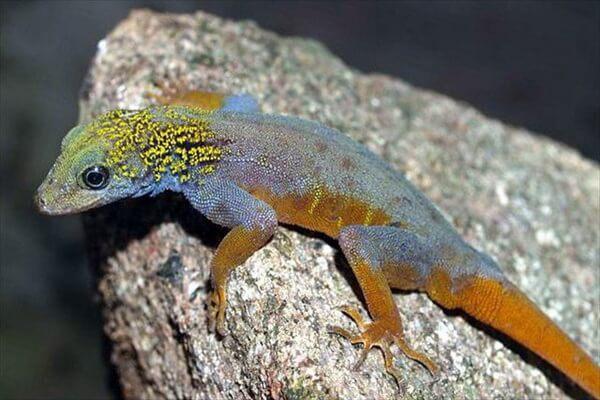 Самые редкие ящерицы с фото и описанием - Психоделический скальный геккон