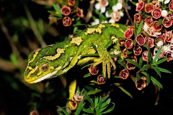 Самые редкие ящерицы с фото и описанием - Новозеландский зелёный геккон