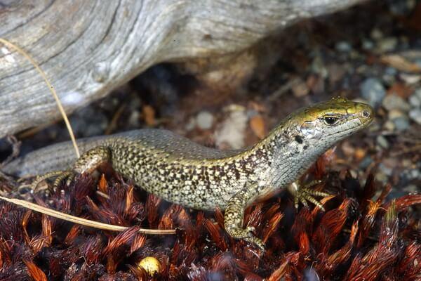 Самые редкие ящерицы с фото и описанием - Кентерберийский травяной сцинк