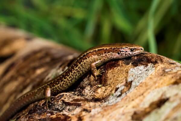 Самые редкие ящерицы с фото и описанием - Сцинк Честерфилда