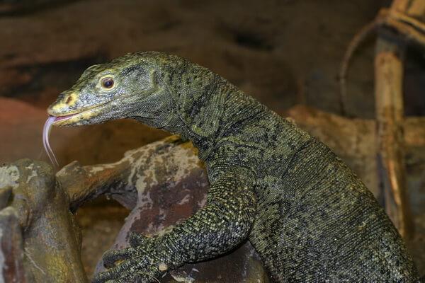 Самые редкие ящерицы с фото и описанием - Варан Грея