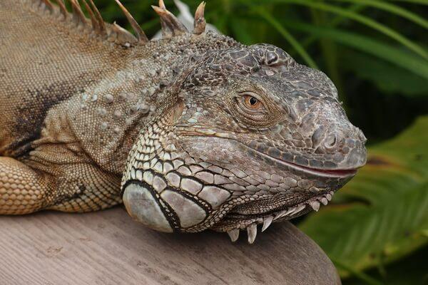 Самые редкие ящерицы с фото и описанием - Гравийный или скрытый дракон