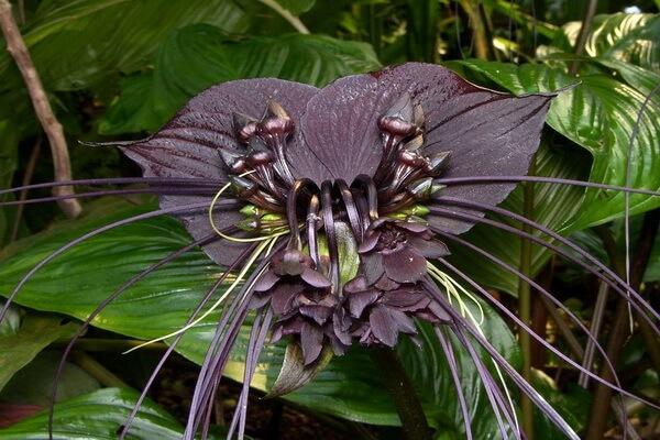 Самые странные цветы с фото и описанием - Такка Шантрье или Цветок «Чёрная летучая мышь»