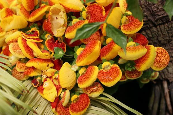 Самые странные цветы с фото и описанием - Кальцеолярия одноцветковая или «Тапочки Дарвина»