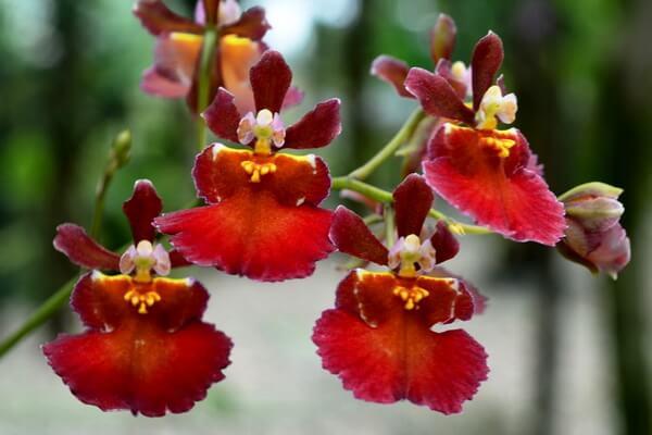 Самые странные цветы с фото и описанием - Онцидиум или орхидея «Танцующая балерина»
