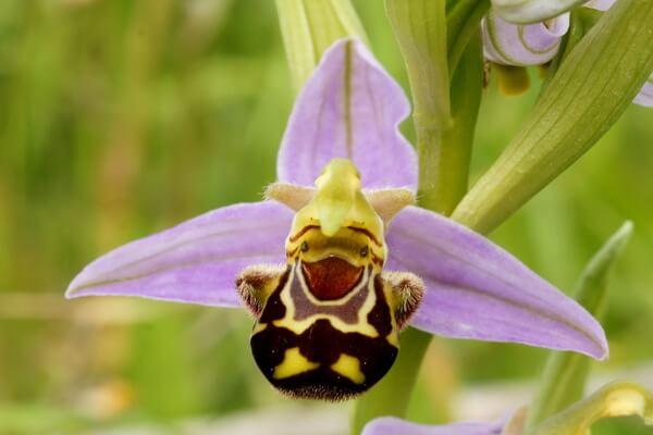 Самые странные цветы с фото и описанием - Орхидея «Смеющаяся пчела»