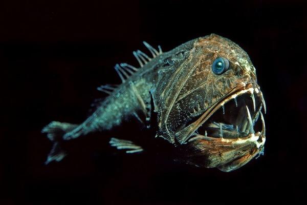 Самые странные рыбы с фото и описанием - Саблезубы