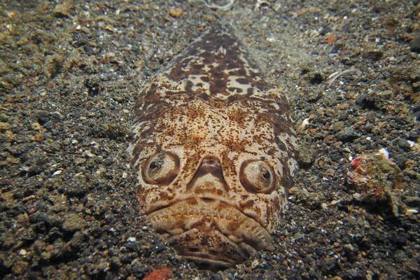 Самые странные рыбы с фото и описанием - Жёлтый звездочёт