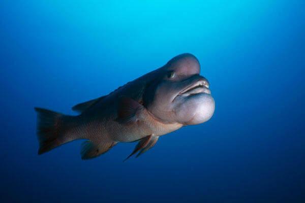 Самые странные рыбы с фото и описанием - Азиатский овцеголовый губан