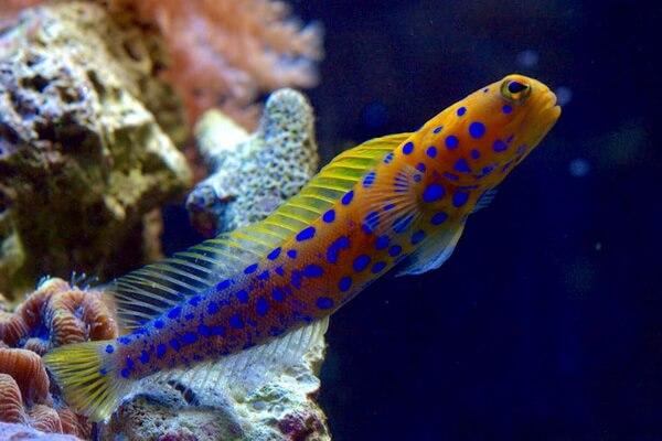 Самые странные рыбы с фото и описанием - Опистогнатовые