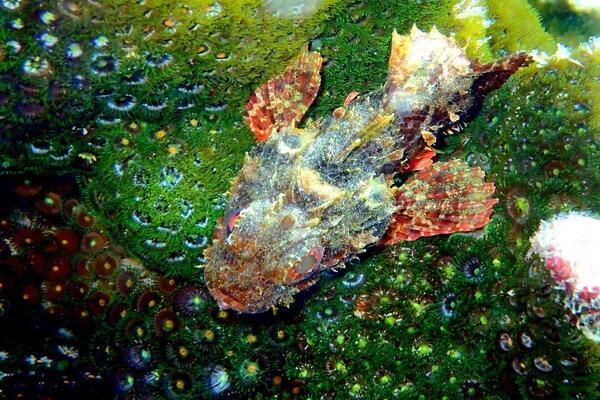 Самые странные рыбы с фото и описанием - Рыба-скорпион