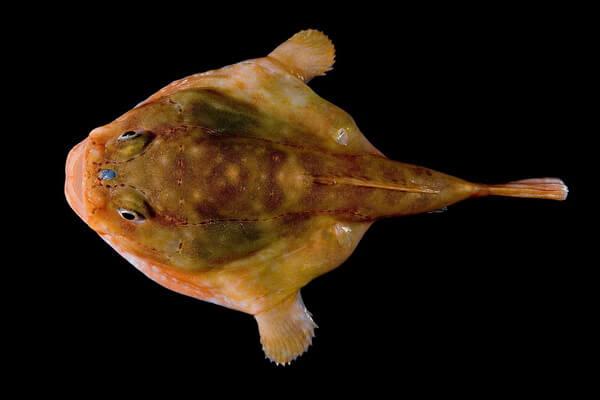 Самые странные рыбы с фото и описанием - Рыба-лягушка