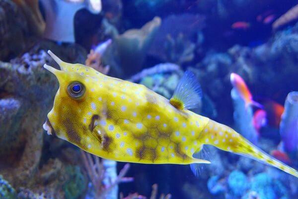 Самые странные рыбы с фото и описанием - Кузовок-кубик