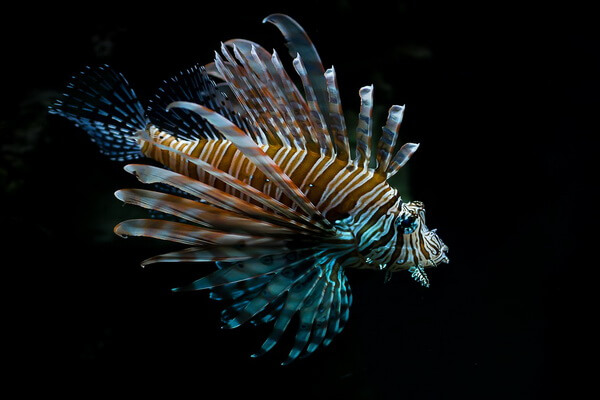 Самые странные рыбы с фото и описанием - Крылатка или рыба-зебра