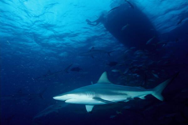 Виды акул, которые водятся в Средиземном море - Чернопёрая акула