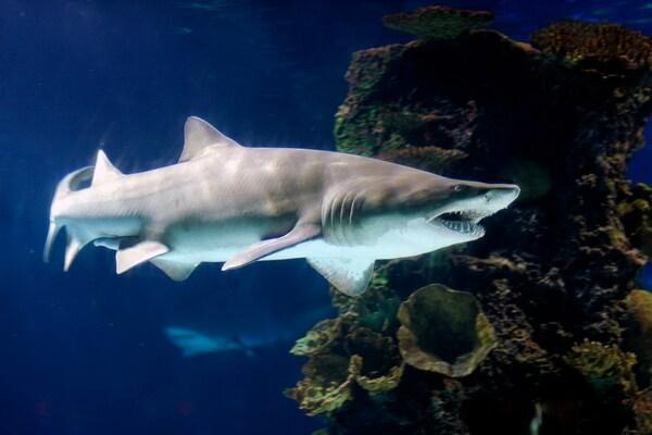 Виды акул, которые водятся в Средиземном море - Песчаные тигровые акулы