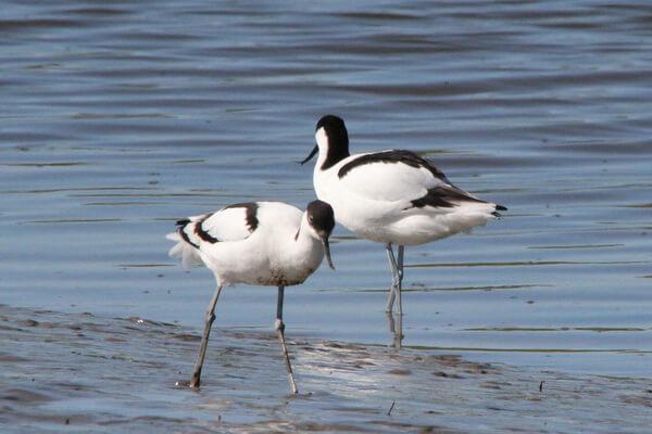 Описание шилоклювки - внешний вид птицы