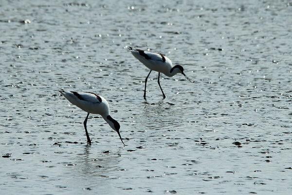 Где обитает шилоклювка - ареал распространения птицы