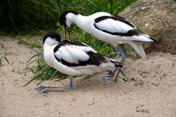 Размножение птицы шилоклювки