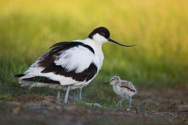 Птенцы шилоклювки - фото и описание
