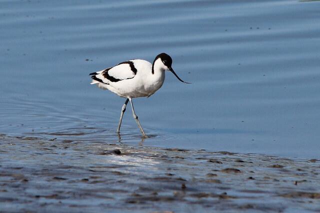 Птица шилоклювка - фото, описание, интересные факты