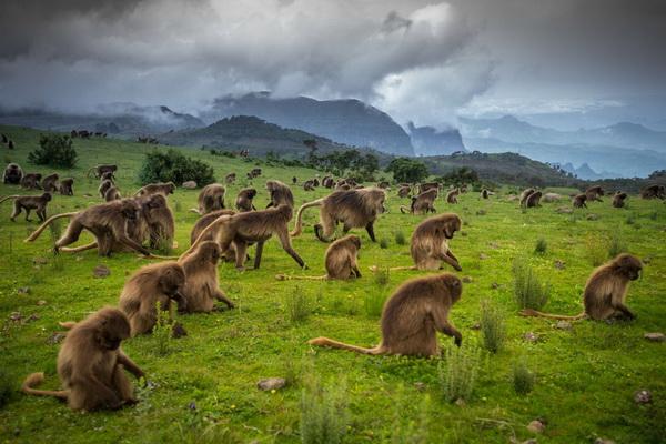 Гелады в Сыменских горах Эфиопии