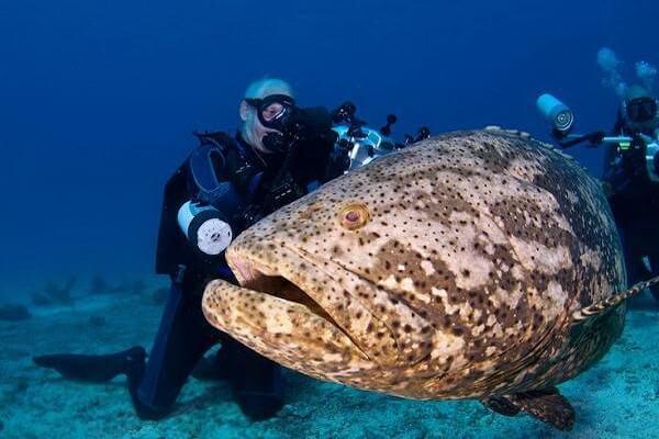 Дайвинг в Коралловом море - Каменный окунь или гигантский групер