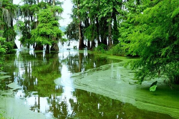 Луизианский мох тилландсия