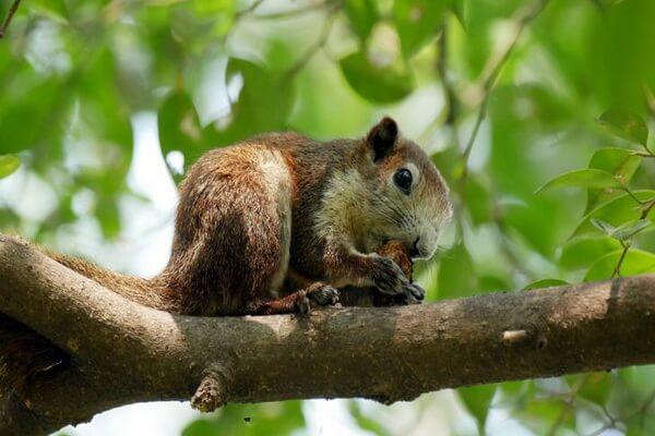 Животные Таиланда с фото и описанием - Восточная древесная белка