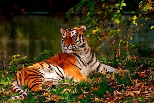 Животные Таиланда с фото и описанием - Индокитайский тигр