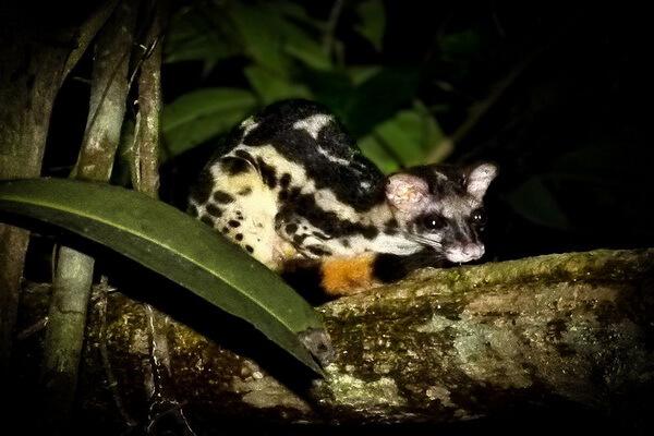 Животные Таиланда с фото и описанием - Полосатый линзанг