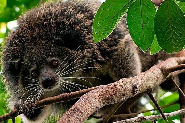 Животные Таиланда с фото и описанием - Бинтуронг