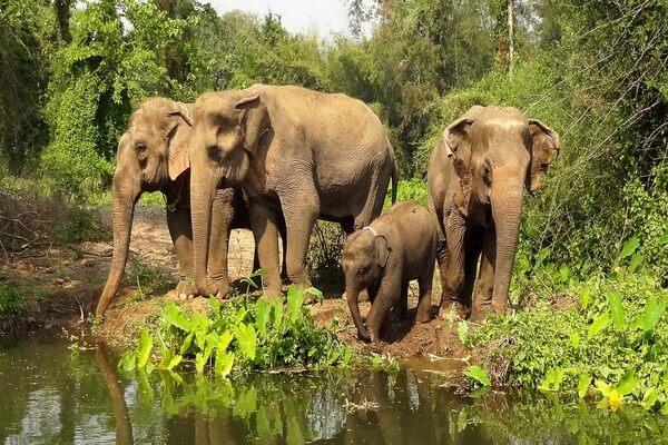 Животные Таиланда с фото и описанием - Азиатский слон