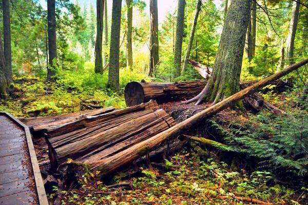 Национальный парк Глейшер - Тропа кедров
