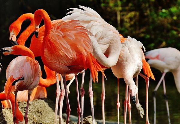 Фламинго в мангровых лесах Тринидада